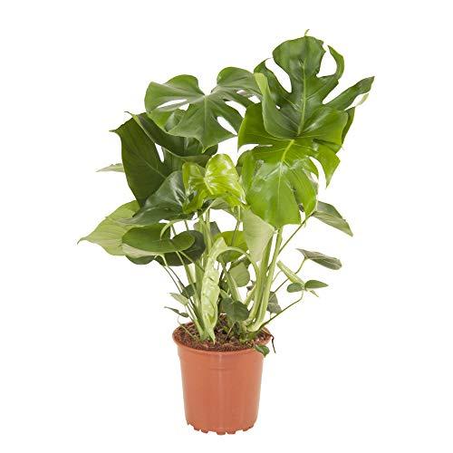 Monstera deliciosa   Fensterblatt   Luftreinigend   Exotische Zimmerpflanzen indoor   Höhe 75-85 cm...
