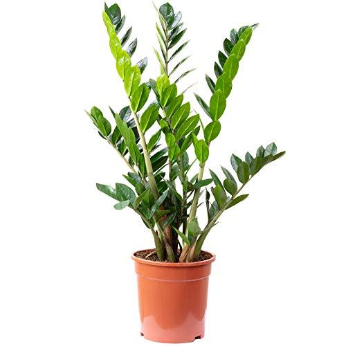 Glücksfeder - Zamioculcas zamiifolia 9+ - Höhe 90 cm, Topf-Ø 21 cm