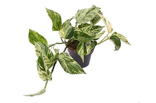 Efeutute, Scindapsus, (Epipremnum aureum) Sorte: Marble Queen, weiß-grünes gezeichnetes Blattwerk,...