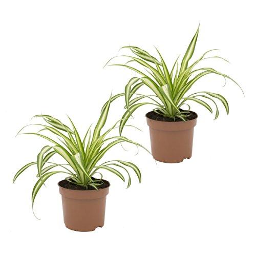 Dominik Blumen und Pflanzen, Grünlilie 'Ocean', 2 Zimmerpflanzen, gute Ampelpflanzen, 10 - 12 cm...