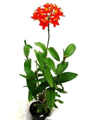 1 blühfähige Orchidee der Sorte: Epidendrum radicans, 12cm Topf