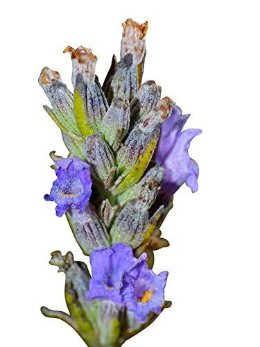 500 Samen vom Echten Lavendel -Lavandula angustifolia- -Vertreibt Mücken-