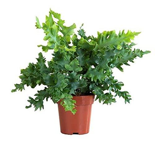 Phlebodium aureum'Davana' | Goldtüpfelfarn | Farn Zimmerpflanze | Höhe 25-30 cm | Topf-Ø 12 cm