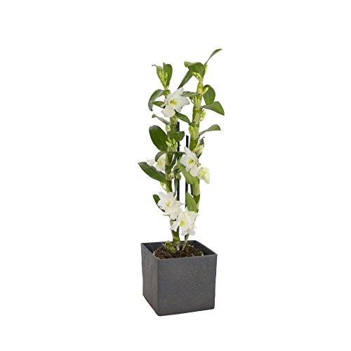 Dominik Blumen und Pflanzen, Asiatische Traubenorchidee, Dendrobium nobile, Orchidee, 40-50 cm hoch,...