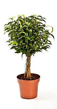 Birkenfeige Hochstamn, Ficus Babilatos, Bonsai, (Ficus babilatos), asiatischer Bonsai, verschiedene...