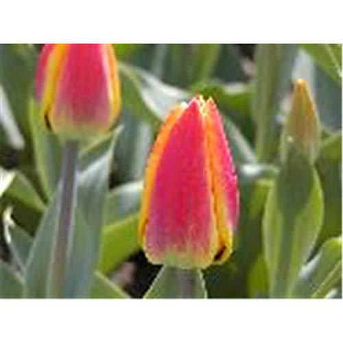 Tulpe 'Flair', Tulipa, gelb-rot geflammt - 3 Zwiebel im Topf 11 cm vorgetrieben, in...