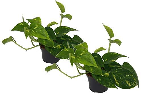 Efeutute, Scindapsus, (Epipremnum aureum) Sorte: Aureum, gelb-grünes buntes Blattwerk, rankend,...