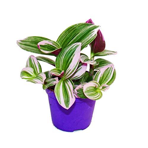Exotenherz - Dreimasterblume - Tradescantia'Nanouk' - pflegeleichte hängende Zimmerpflanze - 9cm...