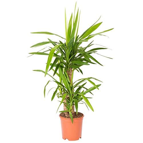 Pflanzen Kölle Palmlilie, 3er-Tuff, Yucca elephantipes, Gesamthöhe incl. Topf ca. 100 cm