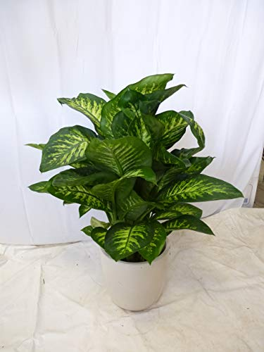 [Palmenlager] - Dieffenbachia seg.'Tropic Snow' 80/100 cm/Zimmerpflanze