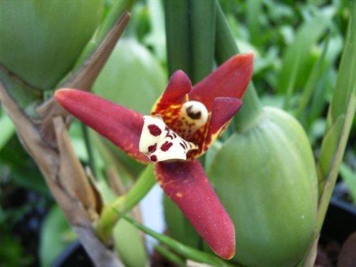 1 blühfähige Orchidee der Sorte: Maxillaria, 9cm Topf, Starker Kokosduft