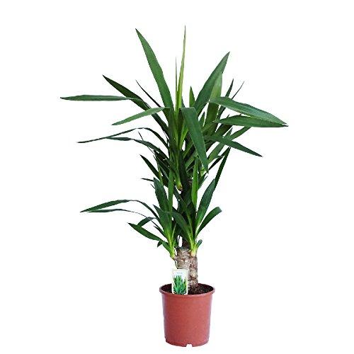 Dominik Blumen und Pflanzen, Yucca - Palme, Palm - Lilie, Yucca elephantipes, 2 - stämmig, 2 - 3...