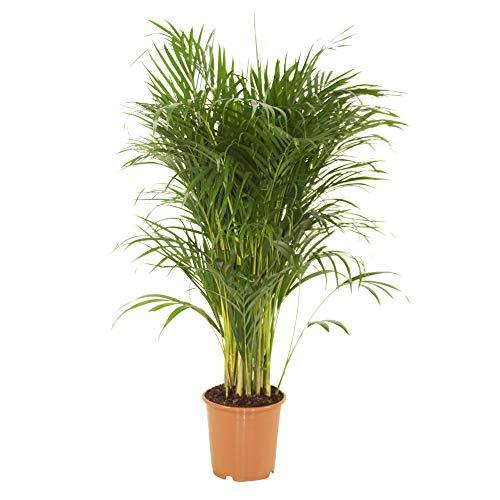 Dypsis lutescens   Areca Palme   Zimmerpalme   Luftreinigende Zimmerpflanze   Höhe 55-65 cm  ...