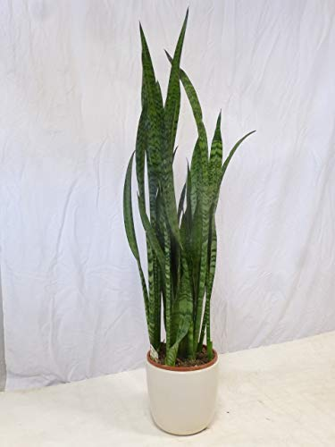 [Palmenlager] - Sansevieria'zeylanica' 70/80 cm - Pot 21 cm Ø/Bogenhanf -...