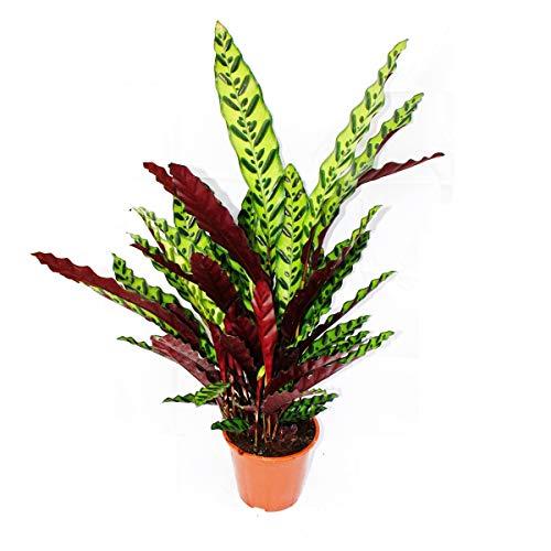 Exotenherz - XXL-Schattenpflanze mit ausgefallenem Blattmuster - Calathea lancifolia - 17cm Topf -...