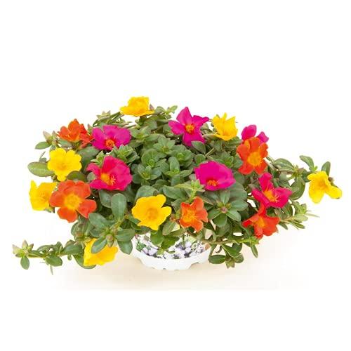 Portulak Trixi Sindbad, dreifarbig, Portulaca - im Topf 13 cm, in Gärtnerqualität von Blumen Eber...