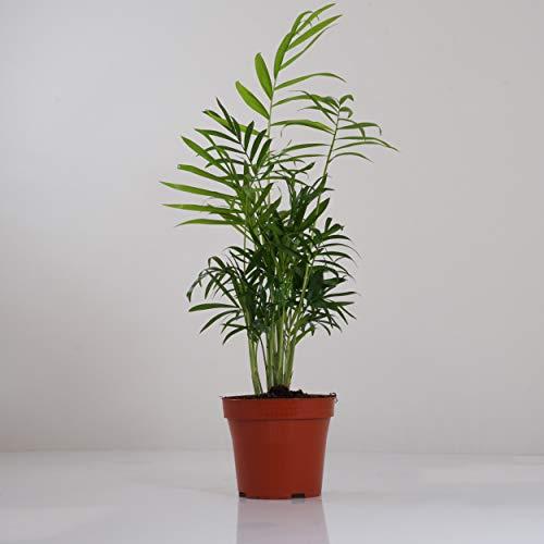Indoor-Helden Mexikanische Bergpalme - Chamaedorea elegans Zimmerpflanze Urban Jungle