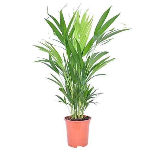 Dypsis lutescens | Areca Palme | Zimmerpalme | Luftreinigende Zimmerpflanze | Höhe 45-55 cm |...