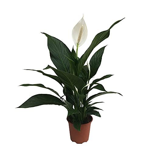 Spathiphyllum wallisii 'Pearl Cupido' | Einblatt Pflanze | Weiße Blüte | Luftreinigende...