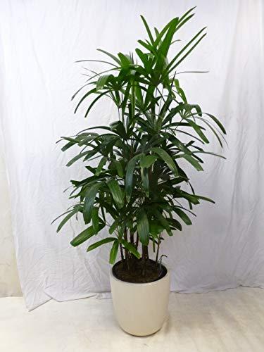 [Palmenlager] Rhapis excelsa - Steckenpalme - 160 cm // Zimmerpflanze (auch für dunkle Ecken)