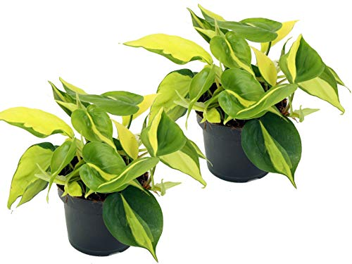 Efeutute, Scindapsus, (Epipremnum aureum) Sorte: Brasil, gelb-grünes-buntes Blattwerk, rankend,...