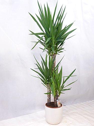 Yucca elephantipes 3er Tuff mit dicken Stämmen 140 cm/Zimmerpflanze Palme / echte Pflanze