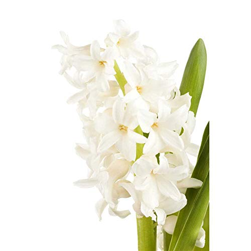 Hyazinthe, Hyacinthus orientalis 'White Pearl', weiß - 3 Zwiebel im Topf 12 cm vorgetrieben, in...