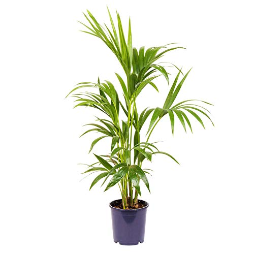 Pflanzen Kölle Kentiapalme, Howea forsteriana, Topf 18 cm, Höhe ca. 110 cm