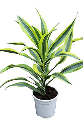"Olive Grove Zimmerpflanze für Wohnraum oder Büro – Dracaena fragrans – ""Lemon and Lime""...."