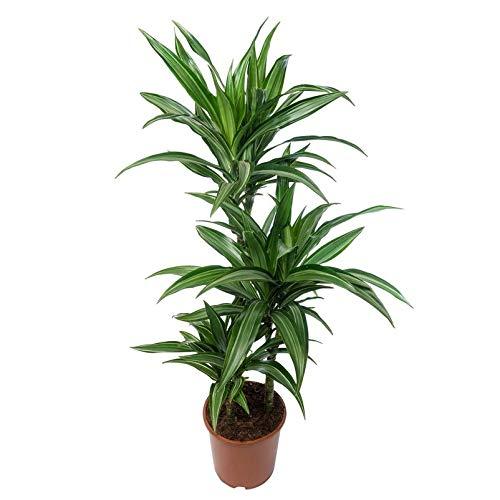Pflanzen Kölle Dracaena deremensis Ulises, Drachenbaum, Wuchshöhe ca. 120 cm, Topf 21 cm