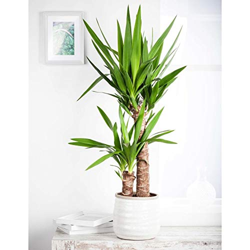 Pflanzen Kölle Palmlilie, Yucca elephantipes, Gesamthöhe incl. Topf ca. 80 cm