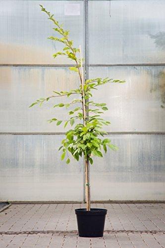 Hainbuche 125-150 cm Busch für Sonne-Halbschatten Heckenpflanze grünes Laub Gartenpflanze...