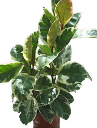 Zimmerpflanze für Wohnraum oder Büro – Ficus elastica Variegata – buntblättriger Gummibaum