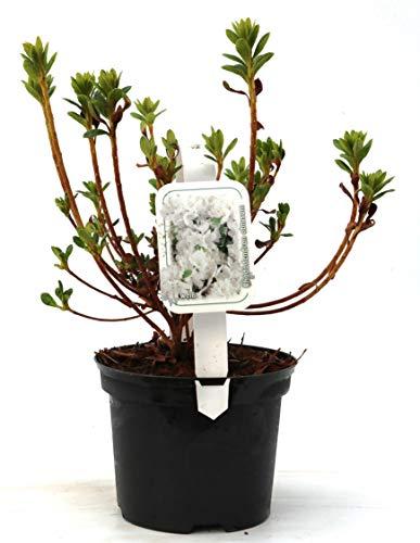 Rhododendron obt. 'Diamant Weiß' Japanische Azalee 20-25cm im Topf gewachsen