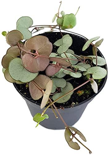 Fangblatt - Ceropegia'Silver Glory' - Leuchterblume im Ø 8 cm Topf - außergewöhnliche...