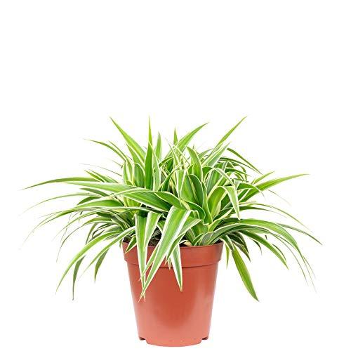 Grünlilie 'Smit-Ocean' - Chlorophytum comosum - Höhe ca. 25 cm, Topf-Ø 15 cm