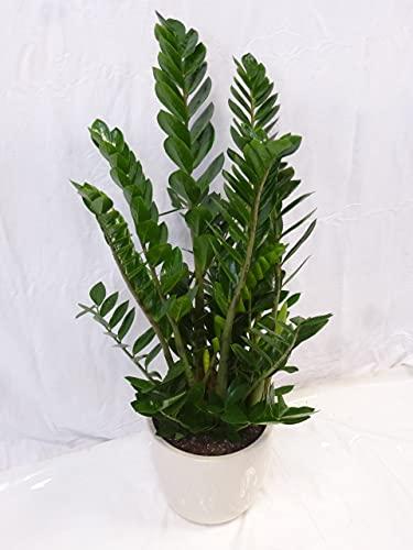 [Palmenlager] - Zamioculcas zamiifolia -'Zamia Farn' 110 cm - Pot Ø 27 cm - Glücksfeder -...
