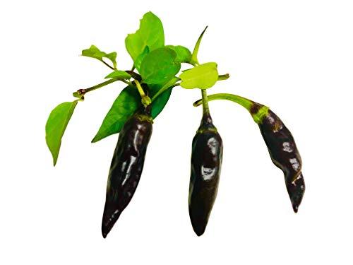 Thai Chili -Purple- 10 Samen -Samenchilishop's Chili des Jahres 2015-