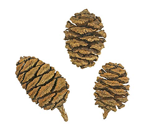 150 Samen Riesen-Mammutbaum -Sequoiadendron giganteum- ★ ★ ★ DER GIGANT UNTER DEN BÄUMEN ★...