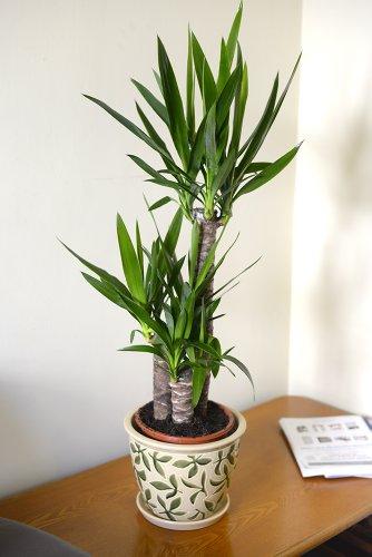 Zimmerpflanze für Wohnraum oder Büro – Yucca elephantipes – Riesen-Palmlilie, 80cm hoch