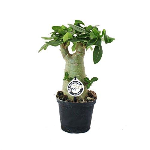Exotenherz - Kleine Wüstenrose, Adenium, Überraschungsfarbe, 11cm Topf