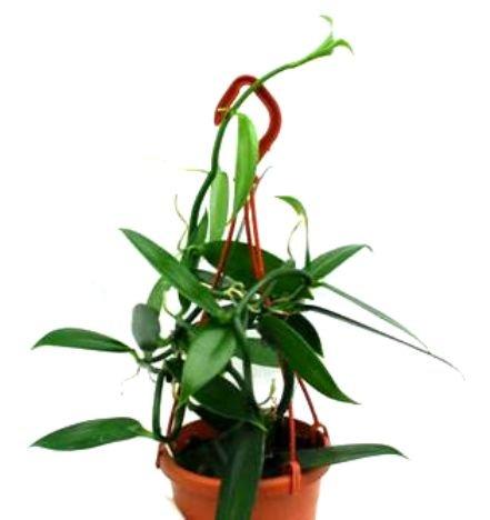 Mühlan Topartikel- 1 blühfähige Orchidee der Sorte: Vanilla planifolia, 12cm Topf