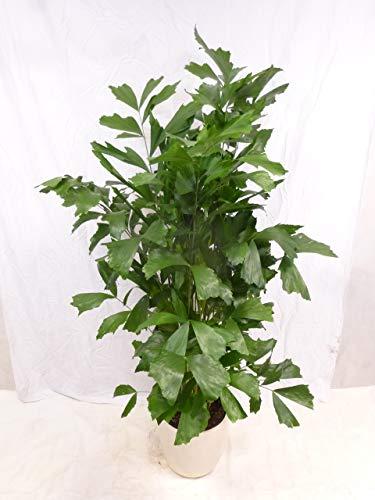 [Palmenlager] - Caryota mitis - Fischschwanzpalme 170 cm/Zimmerpflanze - Palme