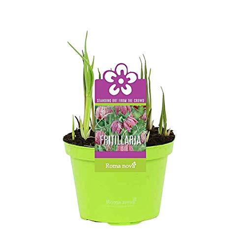 3x Fritillaria meleagris | Schachbrettblume Zwiebeln im Topf | Lila-weiße Blüten | Blumenzwiebeln...