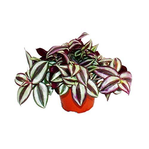 Exotenherz - Dreimasterblume - Tradescantia zebrina - pflegeleichte hängende Zimmerpflanze - 12cm...