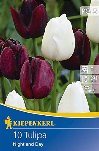 Kiepenkerl 538131 Tulpe Night and Day (10 Stück) (Tulpenzwiebeln)