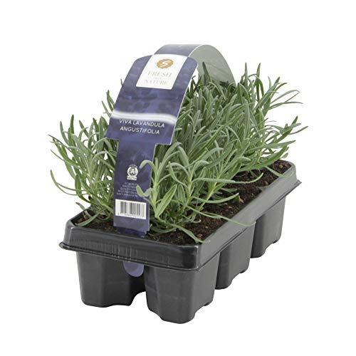 6ST Lavandula Angustifolia | Lavendel Pflanze | Winterharte Stauden | Lieferhöhe 15-20cm | Topf-Ø...
