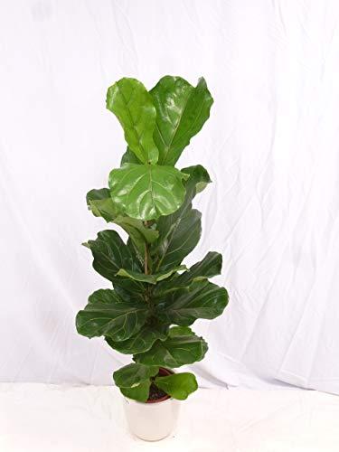 [Palmenlager] - Ficus lyrata 140 cm - Geigenfeige // Zimmerpflanze mit großen Blättern///