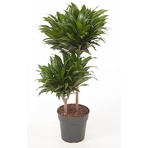 Dracaena compacta | Drachenpalme Pflanze | Palmen Pflanzen | Höhe 80-90 cm | Topf-Ø 19 cm
