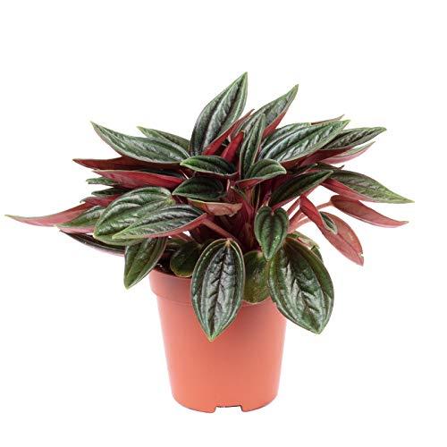 Zwergpfeffer Rosso 'Smit Bambino' - Peperomia rosso - Höhe ca. 10 cm, Topf-Ø 5,5 cm